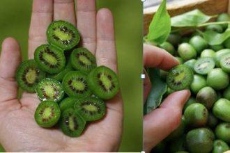Mê mẩn trồng kiwi tí hon từ hạt cực đơn ...