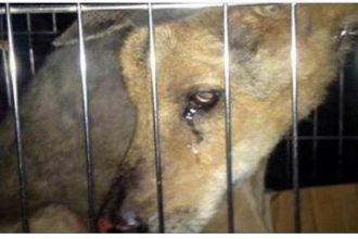 Chú chó già rơi nước mắt vì sợ đem đi ...