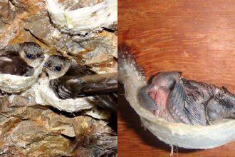 Cuộc đời ĐAU THƯƠNG của loài chim yến !!! Hãy ...