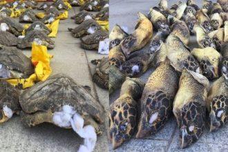 Kinh hoàng cảnh rùa biển bị rút đầu, nhồi bông ...