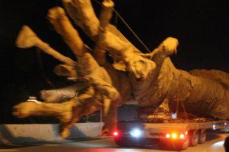 """Xe chở cây khủng như """"quái thú"""": Cây của Thiếu ..."""